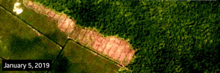 New analysis of satellite images shows APP clearing reforested land and draining peat